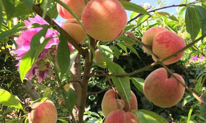 Att ha ett persikoträd innebär dubbel glädje. Man får njuta av en underbar rosa blomning om våren - och nu skörda de ljuvliga, saftiga frukterna som tycks bli större och godareför varje...