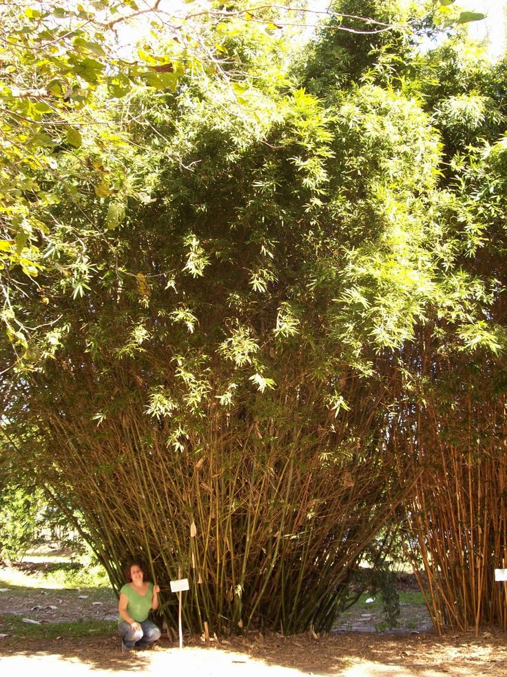 Beautiful Bamboo: Bambusa multiplex Silverstripe - Green Hedge Clumping Bamboo