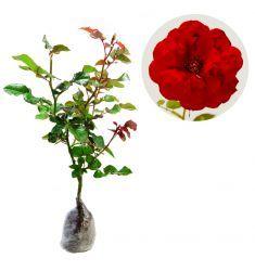 Mawar Merah Rp 15,000