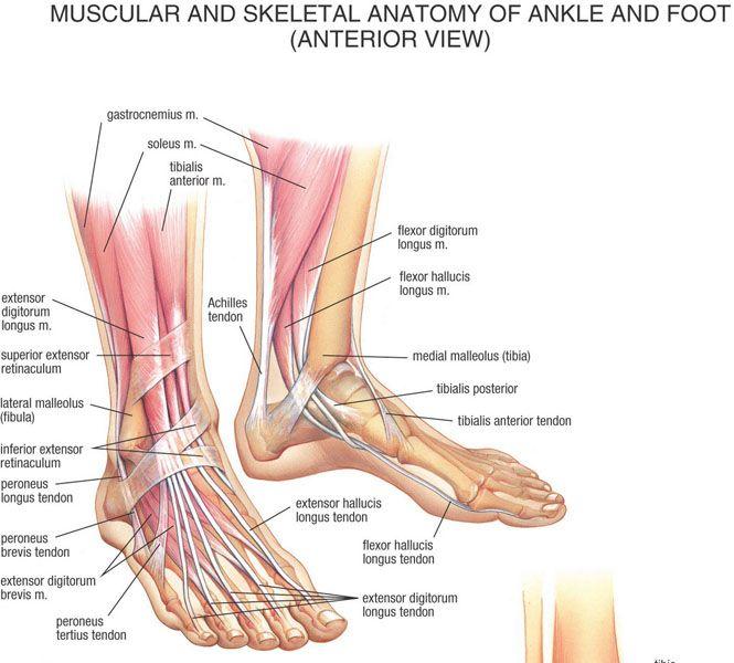 Foot Tendons Anatomy Gallery - human body anatomy