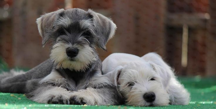 Socal's Miniature, Toy & Teacup Schnauzers - Online