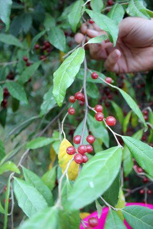 like sweet tarts autumn olive berry elaeagnus umbellata autumn berry ...