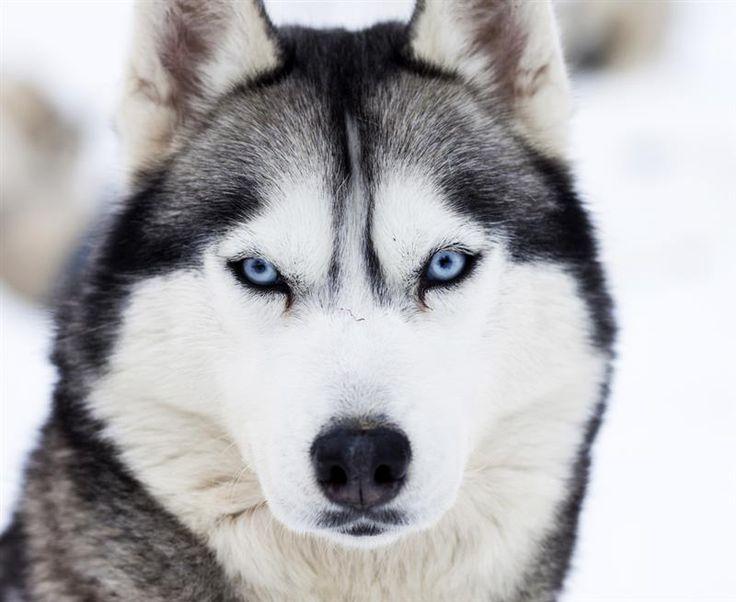 Mejores 10 imágenes de Huskys en Pinterest | Huskies siberianos ...