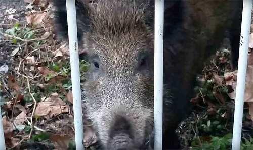 Liguria: #Catturati #cinghiali #Albaro anestetizzati e portati in oasi Enpa (link: http://ift.tt/2mPagz9 )