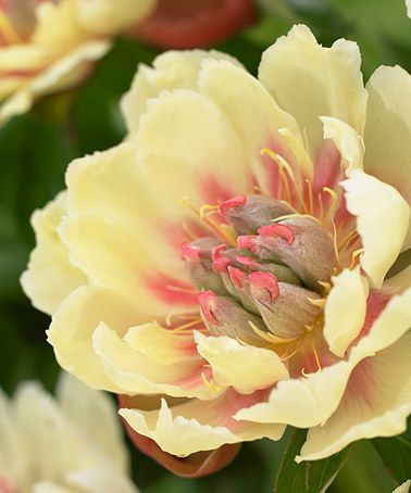 Love this Border Charm Peony Root by bloomsz on #zulily! #zulilyfinds