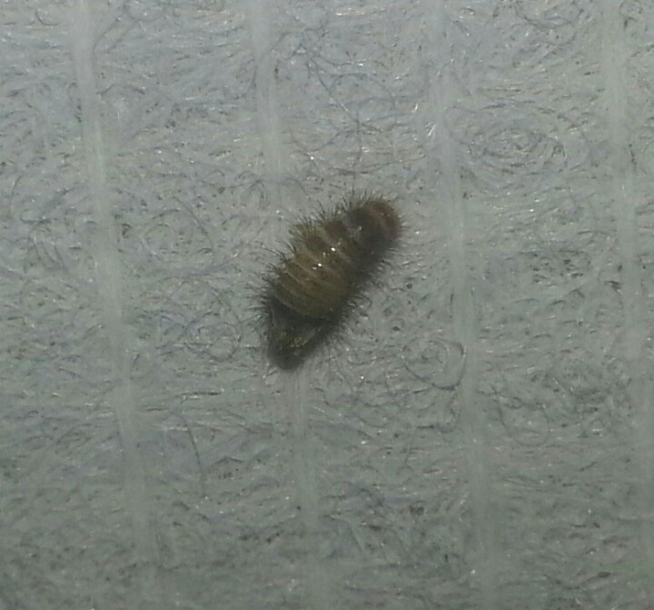 Picture of a carpet beetle larvae  Commonly found when people report bed  bug bites  The little hairs will leave  bite marks  but a good vacuuming d. Picture of a carpet beetle larvae  Commonly found when people