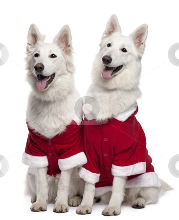 Berger Blanc Suisse Dogs, a.k.a. White Swiss Shepherds