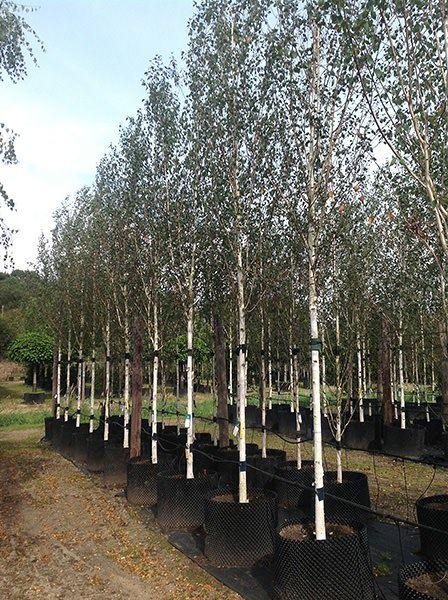 Betula Utilis Var Jacquemontii Himalayan Birch Tree