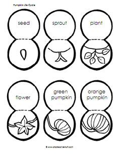 about the pumpkin life cycle alone or along with the book.  Students can use this printable to create a model of the pumpkin cycle.  Here's how