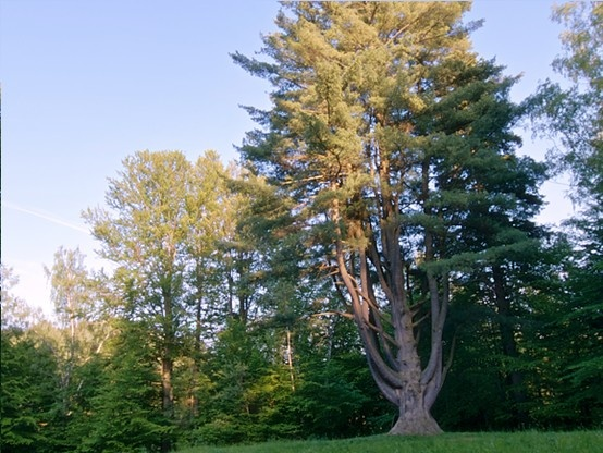 The old tree in Ľubovnianske Kúpele