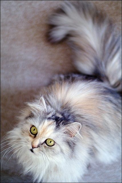 Stunning coloring on this long-haired dilute calico!