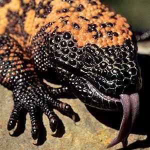 Gila Monster | San Diego Zoo Animals. Wonderful looking creatures. Check this link out for interesting facts, Keva xo.