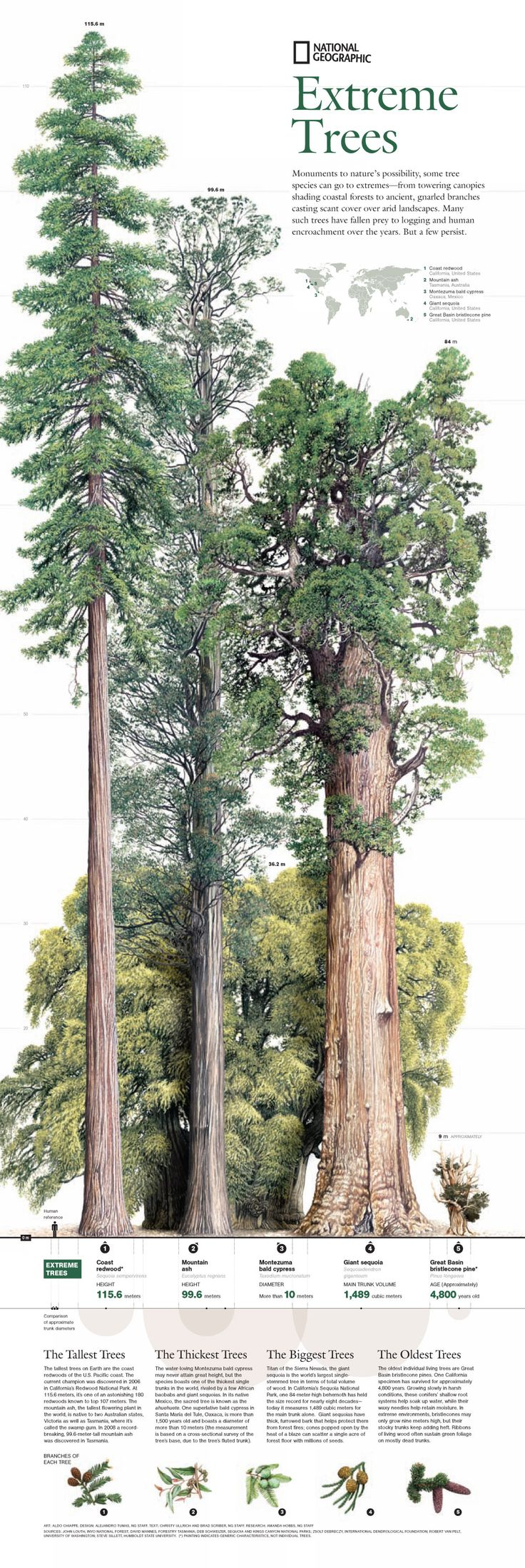 4. The tallest, biggest, thickest, oldest trees: http://en.wikipedia.org/wiki/Sequoia_sempervirens -->> http://en.wikipedia.org/wiki/Eucalyptus_regnans -->> http://en.wikipedia.org/wiki/Sequoiadendron_giganteum -->> http://en.wikipedia.org/wiki/Taxodium_mucronatum -->> http://en.wikipedia.org/wiki/Great_Basin_Bristlecone_Pine