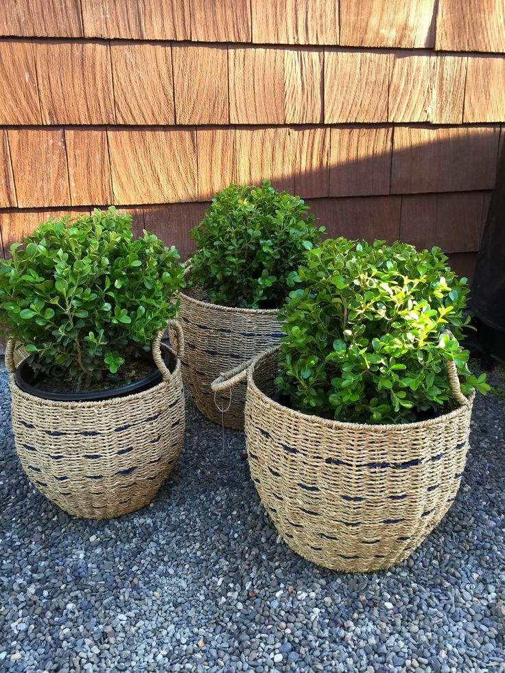 66 Best Images About Boxwood Amp Topiaries On Pinterest