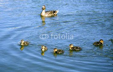 Family of ducks in blue water in summer