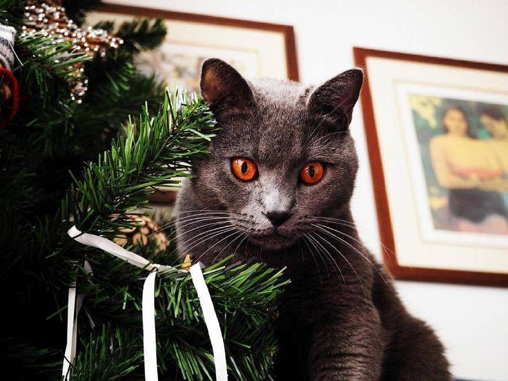 Consejos gatunos para tener un árbol de Navidad en casa sin peligro: - Fijar el árbol en una base solida. - Poner adornos que no se rompan con facilidad. A los gatos nos mola jugar y tocar todo. - Esconder los cables de las luces. Y si no estas en casa dejarlas desconectadas. - Extra seguridad: Poner cascaras de naranja en en algún lugar del  árbol o rociar con algún repelente natural de cítrico para evitar que nos acerquemos al árbol. Happy Meow Christmas!! _________ #meowchristmas #feliz…