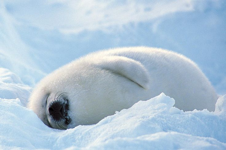 This little guy looks so soft, fluffy, and happy!  I would love to be him on that nice cold ice on these hot summer days.