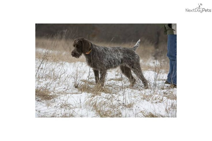 German wirehaired pointer puppies german wirehaired