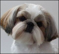 Image result for male shih tzu hair styles