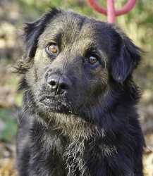 Merry is an adoptable Shepherd Dog in Saukville, WI. UPDATED: 1-4-12 Merry Approx 1.5 �years 30 pounds Female Shep Mix Merry came in right before Christmas with 2 puppies. As usual, both babies were q...