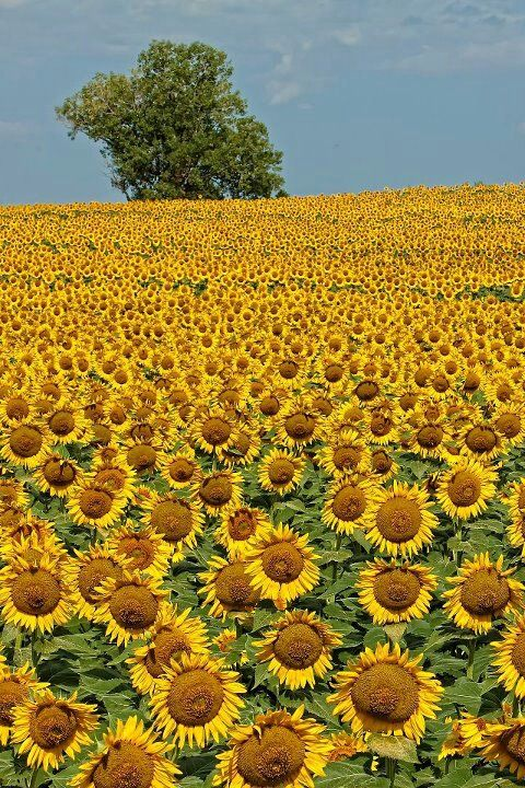 I actually saw this picture...a farm near my home grew sunflowers every year......How pretty!!!!:)