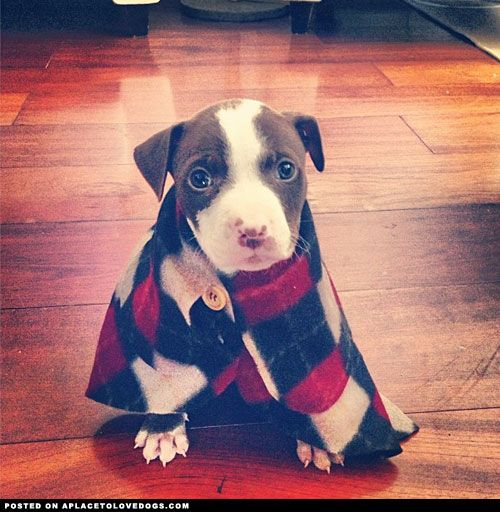"This little puppeh in his argyle jacket is too adorable. His little jacket is so big on him it almost hits the floor! You need to check out ""A Place To Love Dogs"", where I found this photo."