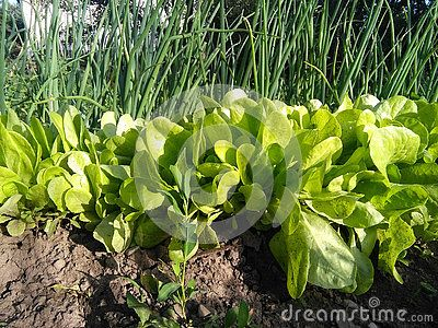 Green lettuce near a balk of onion