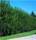 Nellie Stevens Holly Trees | Nelly Stevens Hollies for Sale | Fast Growing Trees