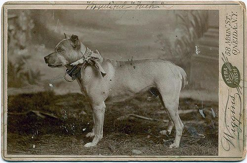 American Staffordshire Terrier Love The Vintage