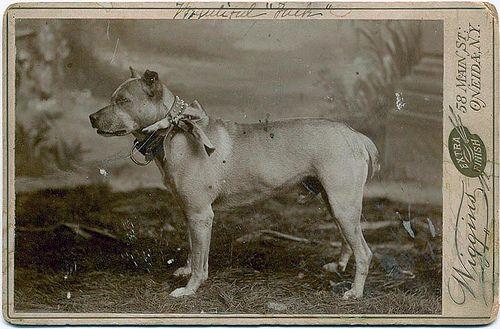 The Sporting Bull Terrier (Vintage Dog Books Breed Classic ...  |American Pit Bull Terrier Vintage