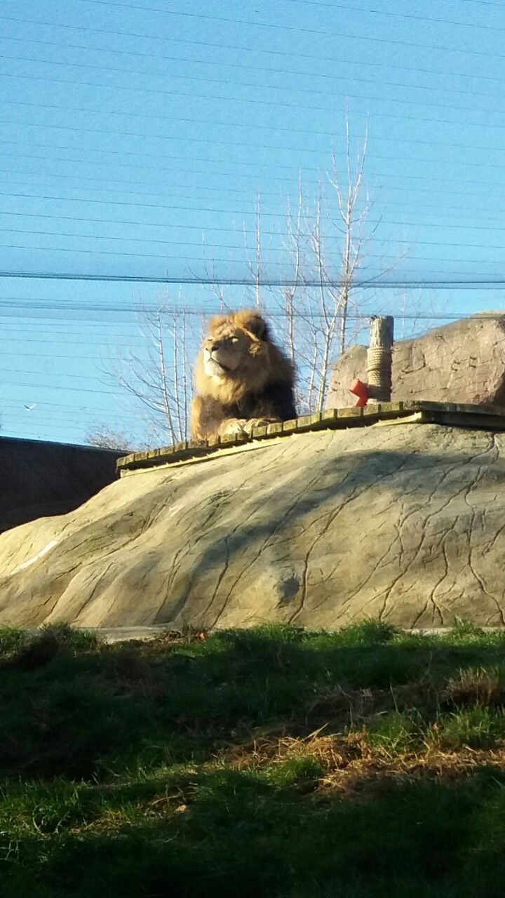 Colchester zoo Lion