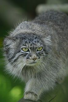 Pallas's cat (Otocolobus manul), also called the manul, is a small wild cat having a broad but patchy distribution in the grasslands and montane steppe of Central Asia. The species is negatively impacted by habitat degradation, prey base decline, and hunting, and has therefore been classified as Near Threatened by IUCN since 2002.[2]  Pallas's cat was named after the German naturalist Peter Simon Pallas, who first described the species in 1776 under the binomial Felis manul