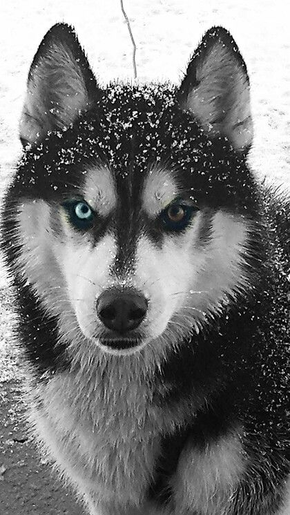 17 Best Images About Husky On Pinterest Clip Art