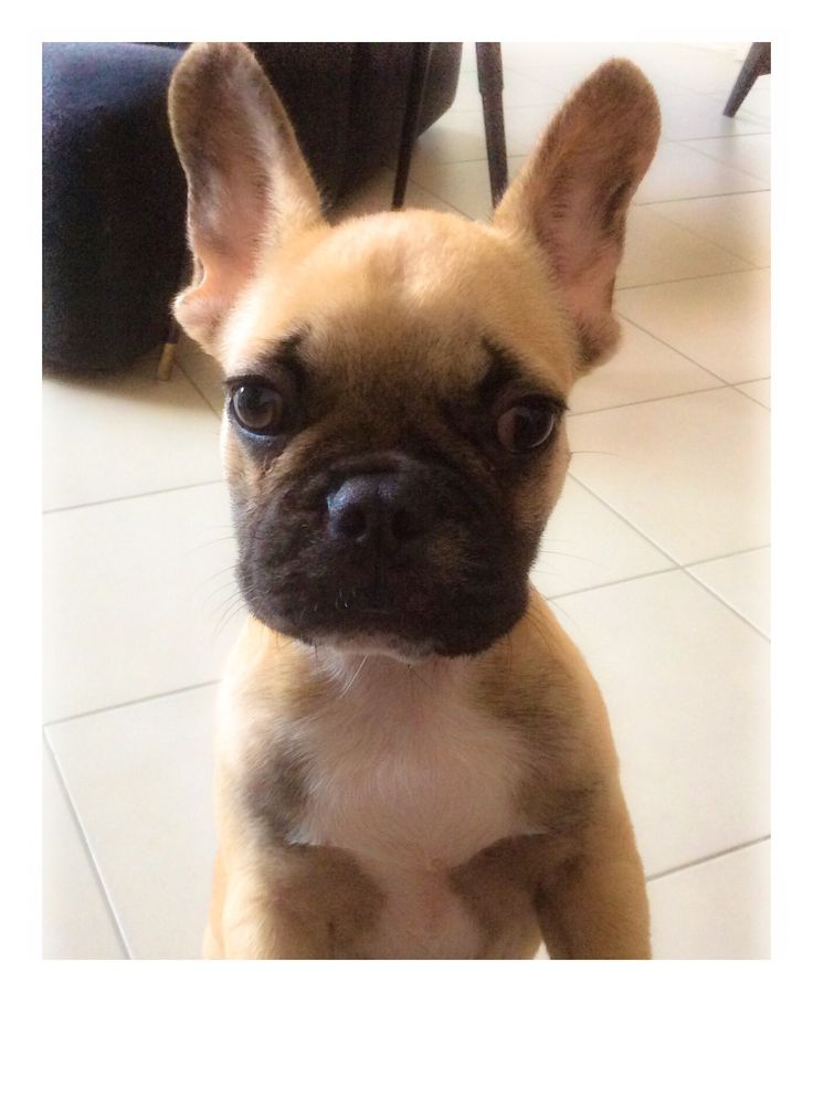 Agatha, a french bulldog puppy