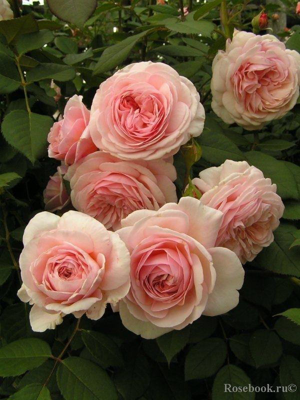 a shropshire lad rosen pinterest rose blumen und pinke rosen. Black Bedroom Furniture Sets. Home Design Ideas