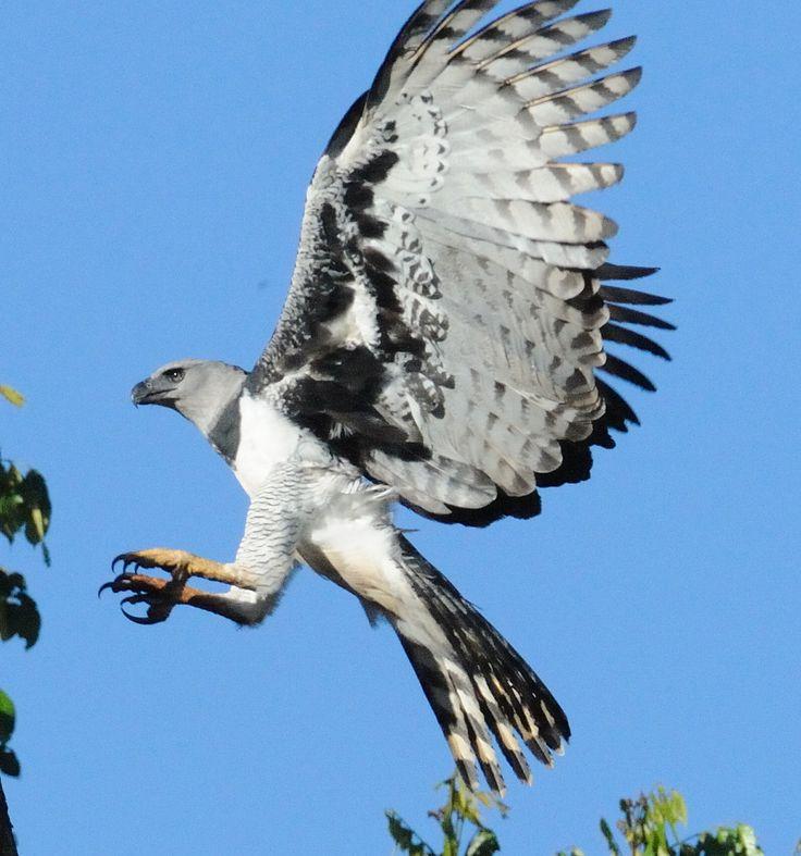 Harpy eagle flying