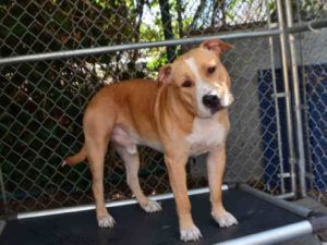 SPIKE – A1091297 MALE, BROWN / WHITE, AM PIT BULL TER MIX, 1 yr STRAY – STRAY WAIT, NO HOLD Reason STRAY Intake condition EXAM REQ Intake Date 09/26/2016, From NY 10314, DueOut Date 09/29/2016,