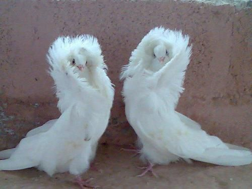 Girl's night out! Meet the Paris Hilton of fancy pigeons, jacobin pigeon (1)