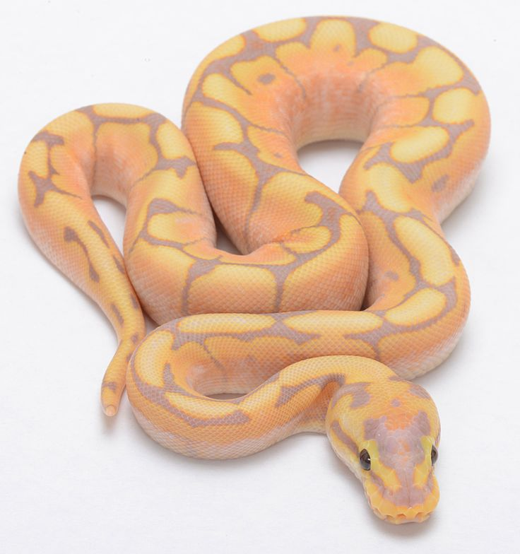 """Coral Glow Spider """"Male Maker"""". Ball Python"""