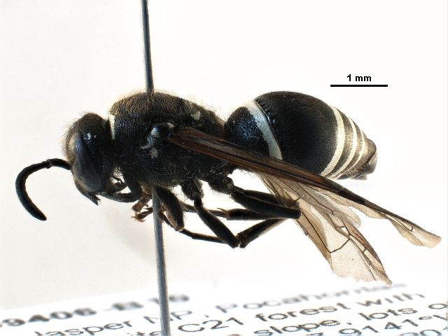 Potter wasp (Ancistrocerus albophaleratus) collected in Jasper National Park, Alberta, Canada, and photographed at the Centre for Biodiversity Genomics (sample ID: BIOUG09406-B10; specimen record: http://www.boldsystems.org/index.php/Public_RecordView?processid=SSJAF7636-13; BIN: http://www.boldsystems.org/index.php/Public_BarcodeCluster?clusteruri=BOLD:AAB7283)