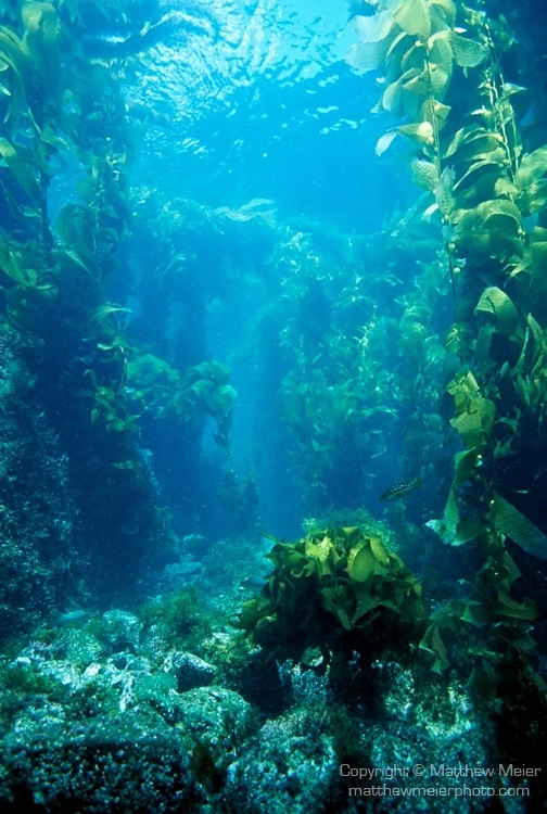 Kelp garden...Amazingly beautiful! Kelp contains over 12 vitamins, 20 major amino acids and 60 key chelated trace mineral. Kelp supplements which are available in either liquid, tablet or capsule forms have been used to cure thyroid conditions among other conditions.