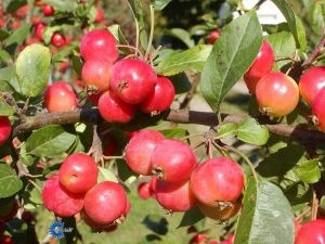 Paradisæble 'Red Sentinel'/Malus hybrid 'Red Sentinel'