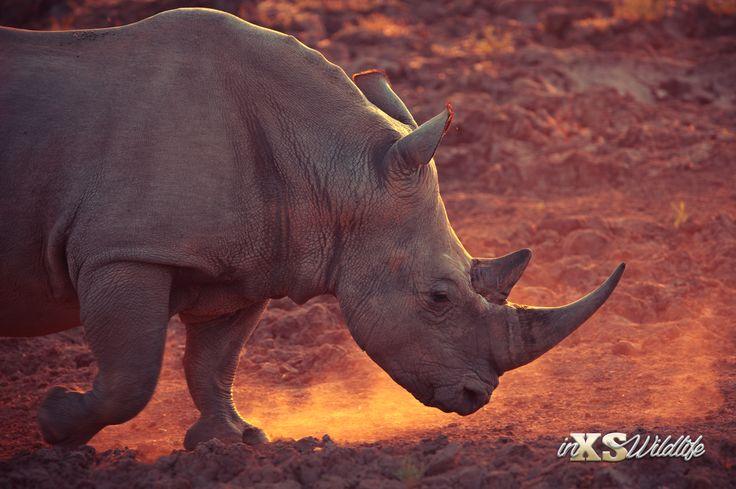 Beyond the beaten track... - In Celebration of World Rhino Day - Long live our Rhinos!!! #rhino #whiterhinos #wildlife #inxswildlife #conservation #majesticanimal #sunset #natgeoyourshot #rememberingrhinos #Wildography #wildlifephotography #worldrhinoday #glorytoGod