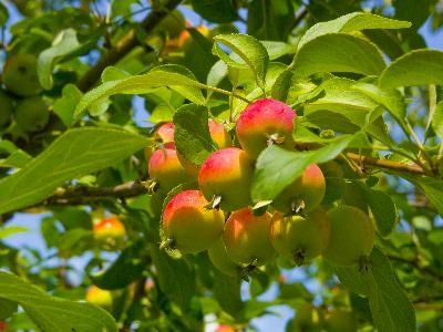 What Kind of Apple Trees Best Pollinate With Each Other?