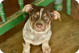 San Antonio, TX - Corgi/Australian Cattle Dog Mix. Meet Isla, a puppy for adoption. http://www.adoptapet.com/pet/17947980-san-antonio-texas-corgi-mix