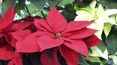 Vánoční hvězda není rostlinou na jedno použití, při správné péči vám za rok zase pokvete.