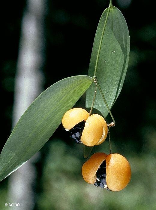 Eustrephus latifolious Leaves and fruit. Australian plant. Common name Wombat Berry.