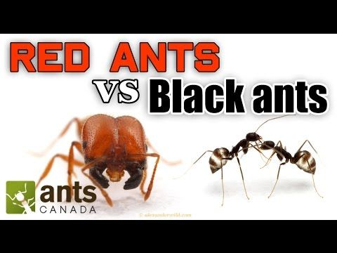 Watch: A fascinating look at red and black ants.
