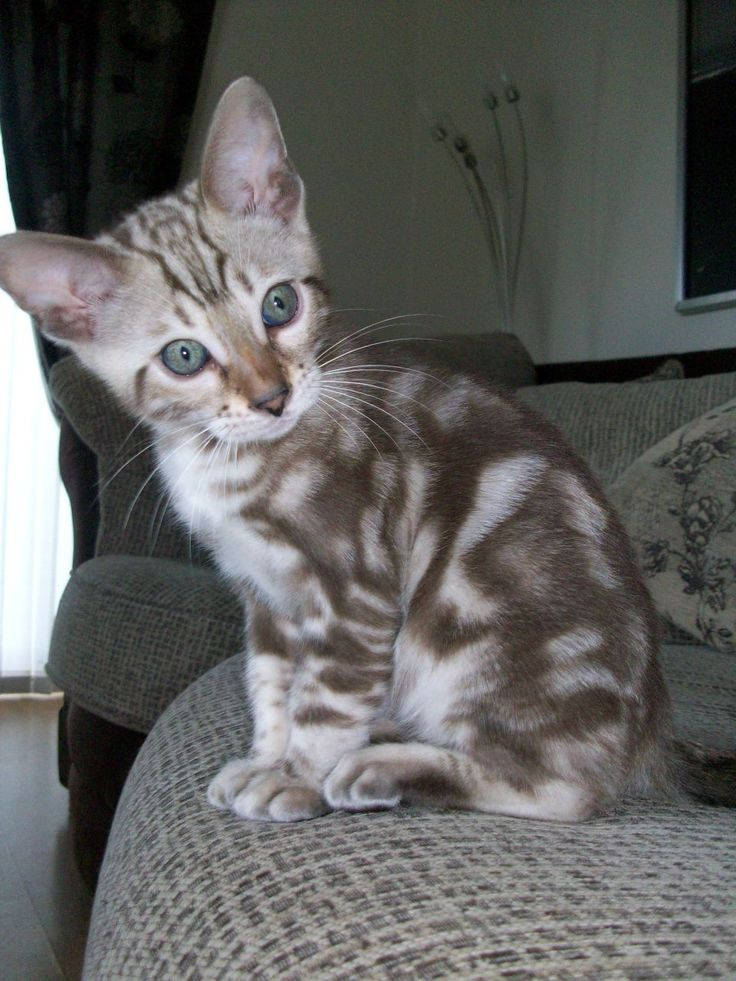 Funny Bengal Cats - - Yahoo Image Search Results