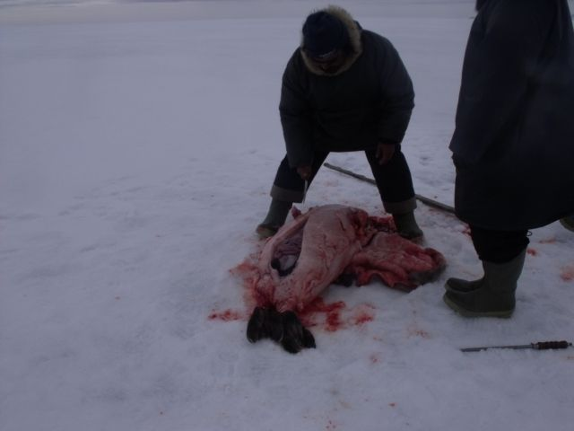 My first seal hunting excursion May 2014